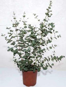 Eucalyptus GUNNI SILVERDROP