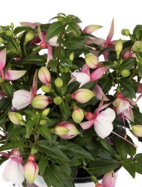 Fuchsia Bella LISA (S)