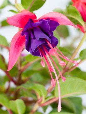 Fuchsia G. Monk BLAU - ROT