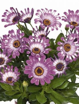 Osteospermum PURPLE SPOON