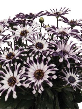 Osteospermum WHITE SPOON