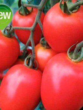 Tomate CENCARA
