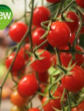 Tomate CROKINI F1