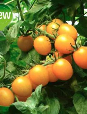 Tomate CILIEGINO YELLOW