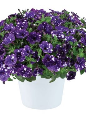 Petunia SPLASH BLUE
