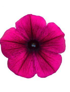 Petunia DEEP RASPBERYY