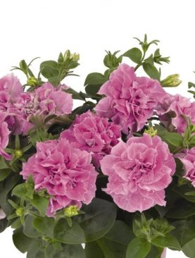 Petunia Double PINK