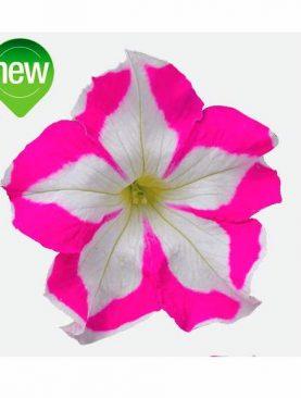 Petunia ROSE STAR