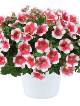 Petunia CHERRY VANILLA
